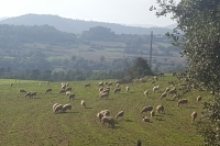 Sheep grazing next to the house