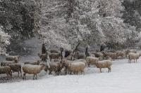 Una gran nevada i les ovelles