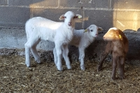 The lambs corral