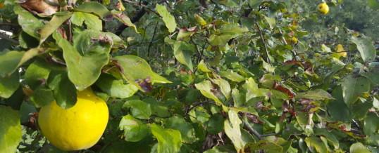 """Recipe of """"allioli"""" of quince"""